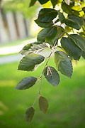college green, Mapp Athens, summer, Tree Tour, European Beech