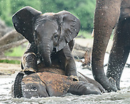 Baby elephant playfully climbs onto young elephant that is laying in the water at the edge of the Chobe River, Chobe National Park, Botswana, © 2019 David A. Ponton