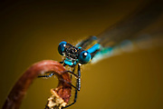 Blue Damselfly, New Zealand