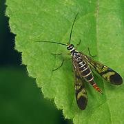 Scorpionfly in Thailand's Kaeng Krachan National Park.