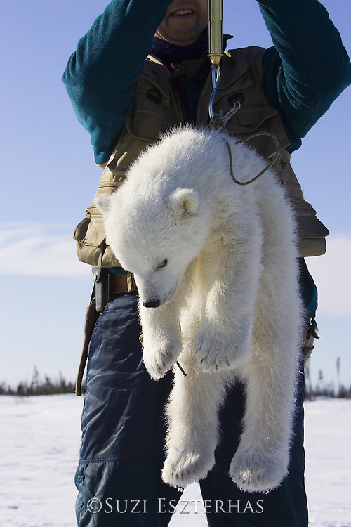 Polar Bear<br /> Ursus maritimus<br /> Polar biologist Nick Lunn weighs a 3-4 month old cub<br /> Wapusk National Park, Canada