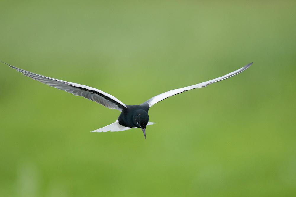 White-winged Black Tern (Chlidonias Leucopterus) in flight at Prypiat river, Belarus