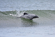 Endangered Hector's Dolphins playing in the waves in the Catlins, New Zealand