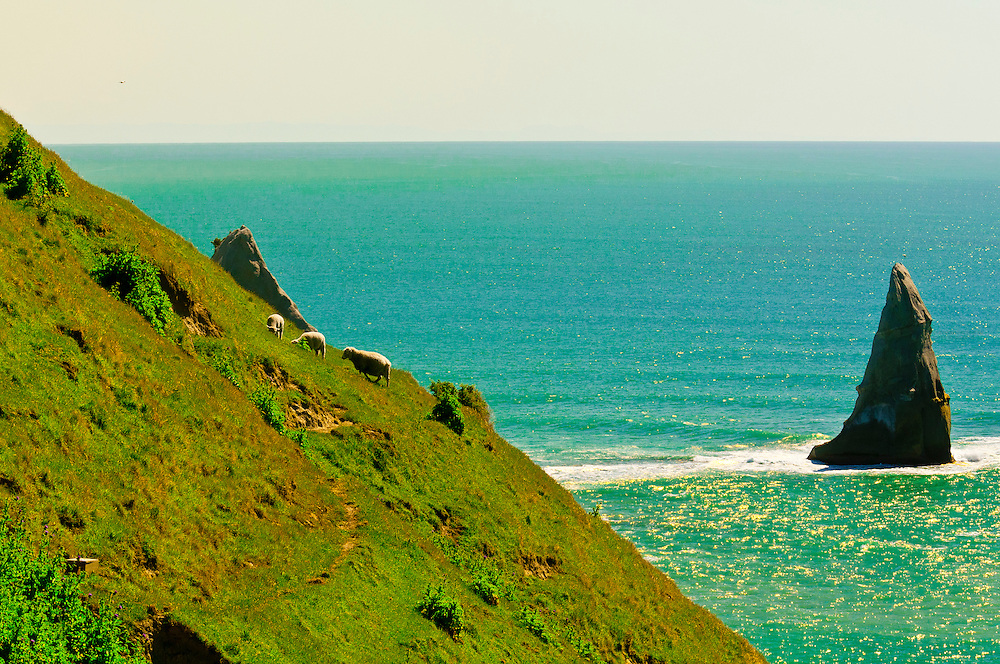 Sheep grazing on a cliff, Cape Kidnappers Gannet Colony, near Napier, Hawke's Bay region, North Island, New Zealand.
