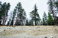 Pine trees above eroded river bank.