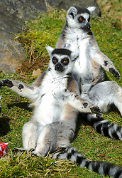 © Licensed to London News Pictures. 13/03/2013 Whipsnade, UK. Billy and Taffy celebrate their 25th birthday at Whipsnade Zoo, Beds. The pair are believed to be the oldest living Ring Tailed Lemurs in captivity. Photo credit : Simon Jacobs/LNP..