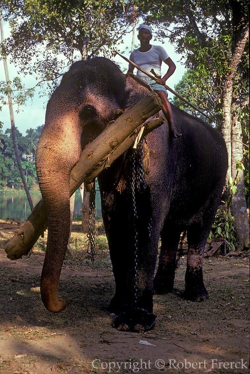 SRI LANKA Work elephants lumbering near Kandy, Sri Lanka