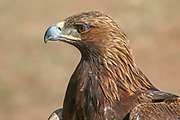 close-up of a Golden Eagle, used for hunting, Kyrgyzstan