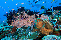 Anthias and Damsels feed in the current<br /> <br /> Shot in Indonesia