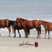 Wild Spanish Horses