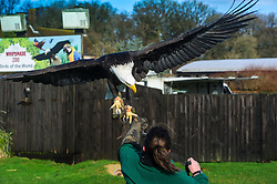 © Licensed to simonjacobs.com. 07/01/2014 Whipsnade, UK.  Apache the  American bald eagle is brought under control by keeper Rebecca Feenan during the annual stocktake at Whipsnade Zoo.<br /> Home to more than 2,500 animals zookeepers take stock of every invertebrate, bird, fish, mammal, reptile, and amphibian.<br /> The compulsory count is required as part of the zoo's license, the results are logged and the data is shared with zoos around the world to manage international breeding programmes. Photo credit : Simon Jacobs