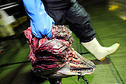 "A fishermen carries the innards of a 100-kg Pacific bluefun tuna from a boat at Oma Port, northern Japan on 23 September 2008. Oma, a town that has long been synonymous with high-quality tuna in Japan, is having to come to grips with depleting stocks of tuna in nearby waters and a battle that pits ""ippon-zuri"", or single-line, fishermen against long-line fishing fleets in the area. .Photographer: Robert Gilhooly"