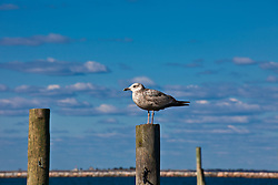 seagull standing on a dock pole by the bay in Sag Harbor, NY