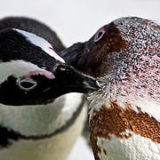 Two African Penguins grooming each other