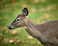 Doe ignoring me. about me. Image taken with a Nikon D5 camera and 600 mm f/4 VR telephoto lens (ISO 14000, 600 mm, f/4, 1/640 sec).