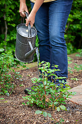 Keeping newly planted young rose plants watered during dry spells