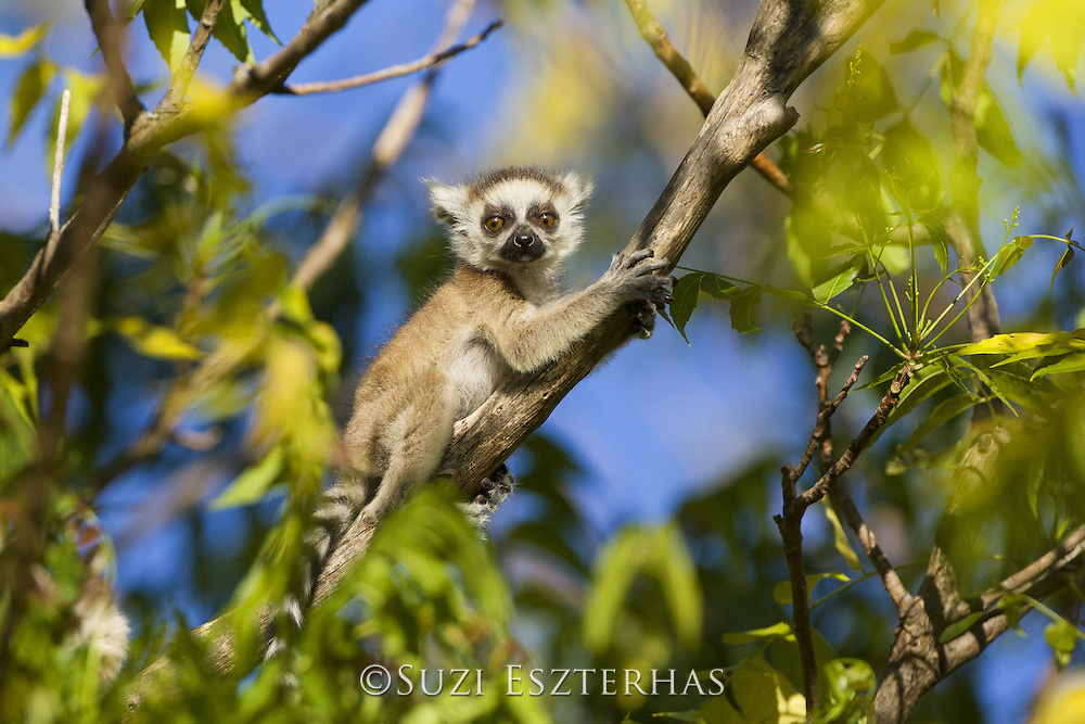 Ring-tailed Lemur<br /> Lemur catta<br /> Two-week-old baby clinging to branch<br /> Berenty Private Reserve, Madagascar