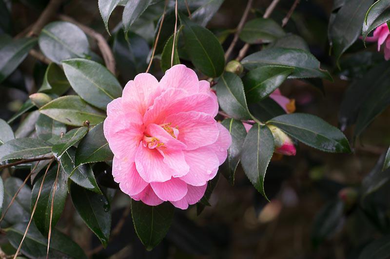 Camellia x williamsii 'Cheapside'