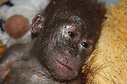 Just look at me now! Incredible transformation of the 'mummified' orang-utan who has been nursed back to health <br /> <br /> A baby orang-utan left to die in a filthy cardboard box in the sun in Borneo is showing further strong signs of recovery less than two months after being saved by a British charity.<br /> Rescuers said the baby ape's appearance is now 'beyond recognition' after he was found so lifeless that at first they thought he was dead.<br /> Lying corpse-like with his arms folded across his chest, his grey flaking skin and lack of hair made him look 'almost mummified' in his urine-soaked box.<br /> <br /> The baby, who officials named Gito, was found in the village of Hamlet Giet in Simpang Hulu district, 105 miles from the orang-utan rehabilitation base in West Borneo.<br /> Dehydrated and malnourished after being fed entirely on condensed milk, Gito was taken to the International Animal Rescue (IAR) clinic by motorbike in an arduous nine-hour journey.<br /> During a medical check, Gito was feverish, with stiff hands and feet. He was unable to sit up on his own, suffering from diarrhoea and from sarcoptic mange - a highly contagious skin disease.<br /> <br /> To help relieve him, coconut oil was massaged into Gito to soothe and soften his itchy skin. And he was placed on a drip to help rehydrate him.<br /> Now, less than two months later, East Sussex-based IAR said Gito is looking 'healthy, happy and alert' - and is even sporting two front teeth.<br /> Alan Knight, chief executive at IAR, said: 'Considering the condition little Gito was in when he was rescued, his recovery has been remarkable.<br /> 'But the team at our centre in Ketapang are experts at caring for sick and injured orang-utans and have been hugely successful at saving a number of seemingly hopeless cases.'<br /> Although Gito is not as hairy as he should be, his skin is smooth and supple and there are good signs that his coat is growing, IAR rescuers said<br /> <br /> Vets and carers are working round the clock to save other orphaned orang-utans who have become victims of deforest