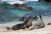 Hawaiian monk seals, Monachus schauinslandi, Critically Endangered endemic species, a 7-year-old male (RI11) challenges a 5 year old male (R036), at right, at Beach 4 on west end of Molokai (two female seals are resting nearby), Hawaii ( Central Pacific Ocean )