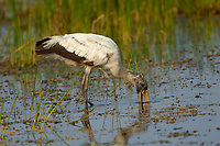 Wood Stork Mycteria americana Arthur R Marshall National Wildlife Reserve Loxahatchee Florida