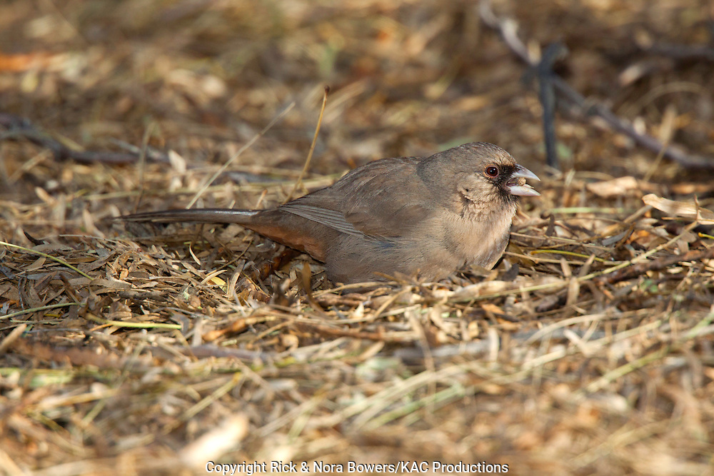 Abert's Towhee<br /> Pipilo aberti<br /> Gilbert, Maricopa County, Arizona, United States <br /> 15 January       Adult feeding on Mesquite seeds (Prosopis sp.)        Emberizidae