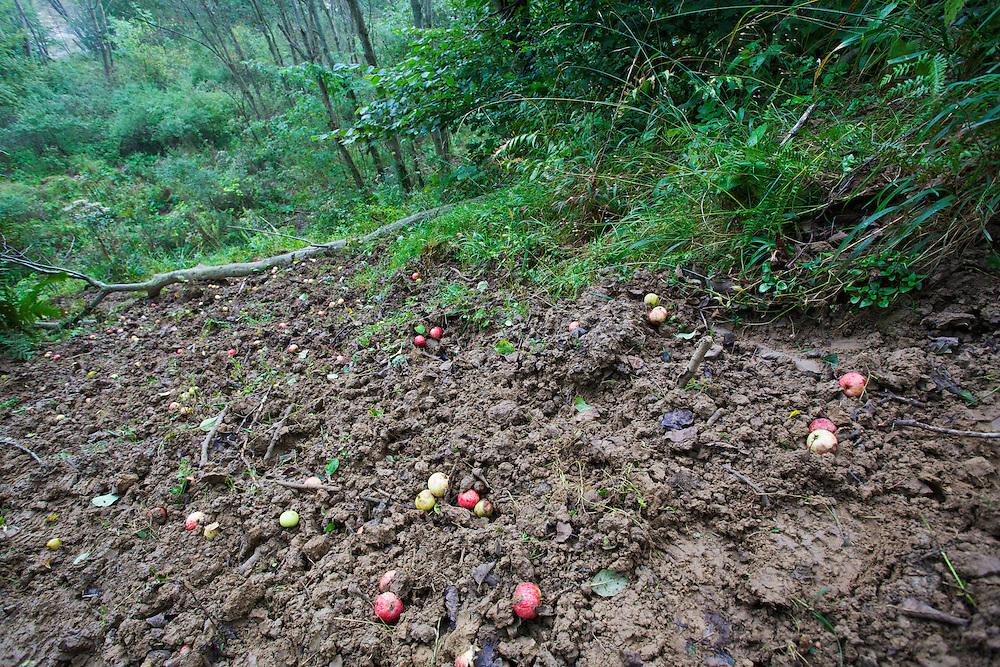 Apples (Malus sp.) lying underneath a tree, a place frequently visited by ungulates, bears and Wild boar in fall searching for ripe fruit. San River, Krywe Nature Reserve, Bieszczady region, Poland.