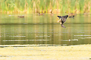 Hobby hunting dragonflies over the surface of a lake. Ockham Common, Surrey, UK.