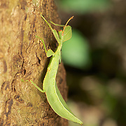 Phyllium westwoodii is a phasmid insect (Order Phasmatodea) belonging to the Family Phylliidae (leaf insects). These rather large and ornate creatures are known for their morphological resemblance to plant leaves for camouflage.