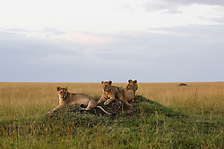 A family of young lion cubs (Panthera leo) sitting together on a termite mound while the pride is out hunting, Masai Mara, Kenya