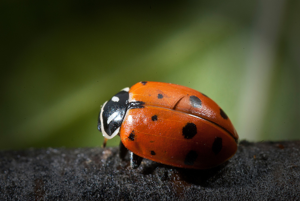 Coccinellidae is a widespread family of small beetles ranging in size from 0.8 to 18 mm. The family is commonly known as ladybugs in North America, and ladybirds in Britain and other parts of the English-speaking world.