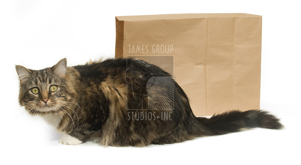 """Tabby cat outside of a paper bag, illustrating the saying """"the cat's out of the bag."""""""