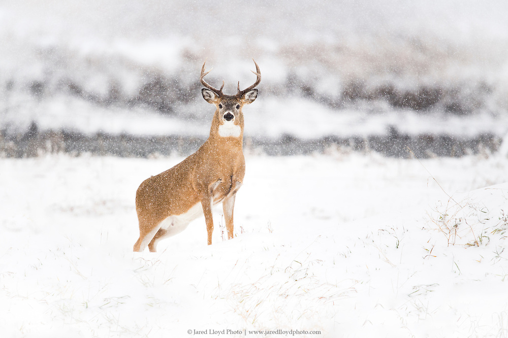 a white-tailed buck in a regal pose along the banks of a river in heavy snowfall