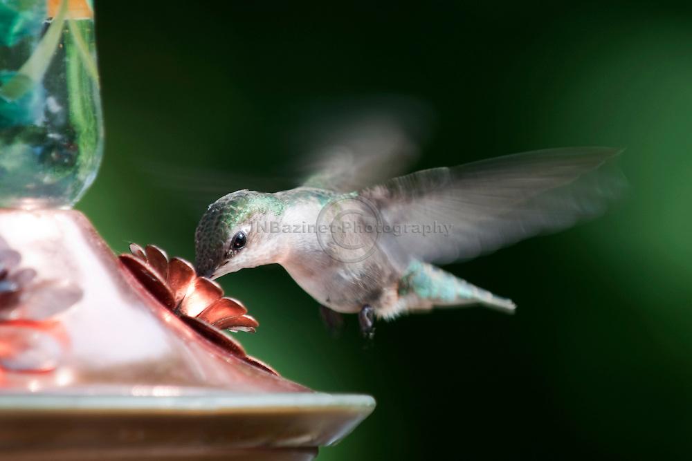 A Hummingbird drinking homemade nectar from a feeder in a Gatineau, Qc backyard.