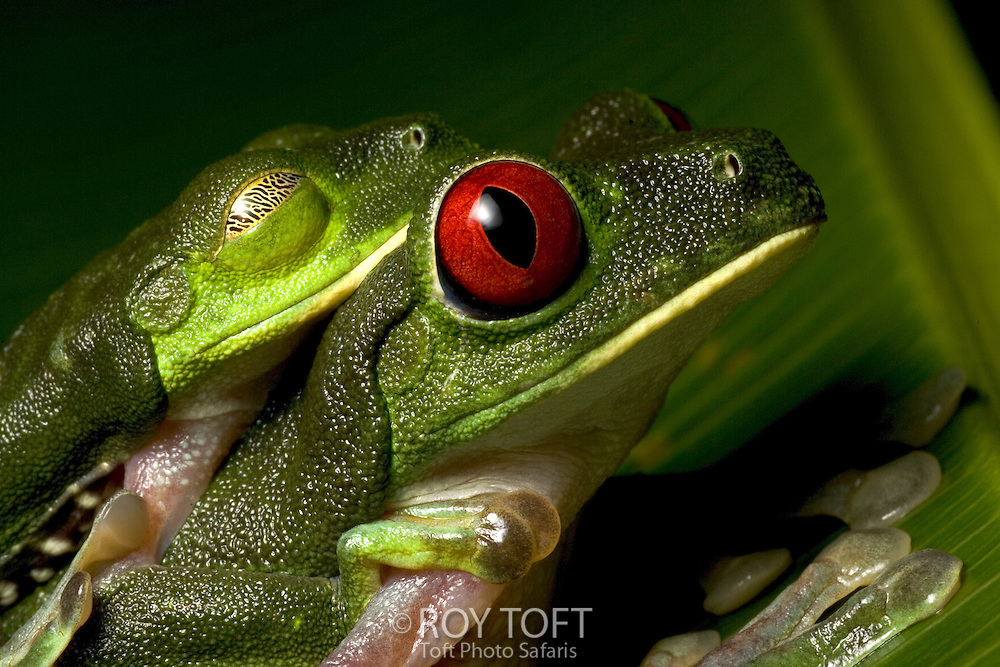 Close-up of mating red-eyed tree frogs, Costa Rica
