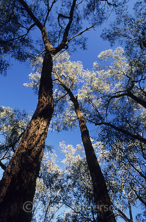 Ironbark trees, Eucalyptus sideroxylon, in Chiltern State Forest, Australia.