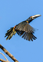 Collared Aracari [Pteroglossus torquatus] takes flight;  Santa Fe, Panama