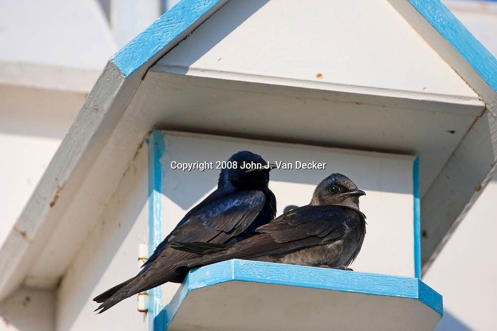 Purple Martins male and female, Progne subis, outside of bird house