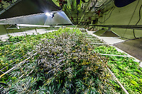 Grow room, Sticky Buds, Denver, Colorado USA.