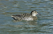 Garganey (female) Anas querquedula L 37-41cm. Teal-sized summer visitor to the region. Favours emergent wetland vegetation, hence unobtrusive. In flight, male shows pale blue-grey forewing and white-bordered greenish speculum; female's speculum is brown. Sexes are dissimilar. Adult male has reddish brown head and broad white stripe above and behind eye. Breast is brown but otherwise plumage is greyish, except for mottled buffish brown stern. In eclipse, resembles adult female but retains wing patterns. Adult female has mottled brown plumage; similar to female Teal but bill is uniform grey bill and has pale spot at base of bill. Juvenile resembles adult female. Voice Male utters diagnostic rattle. Status Scarce breeding bird but fairly widespread on migration.
