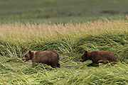 A brown bear spring cubs walks through sedge grass at the McNeil River State Game Sanctuary on the Kenai Peninsula, Alaska. The remote site is accessed only with a special permit and is the world's largest seasonal population of brown bears in their natural environment.