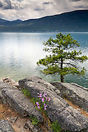 A Ponderosa Pine (Pinus ponderosa) growing on the rocky shore of Okanagan Lake at Otter Beach in Ellison Provincial Park