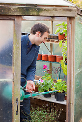 Watering pots of pelargoniums in the greenhouse avoiding the leaves