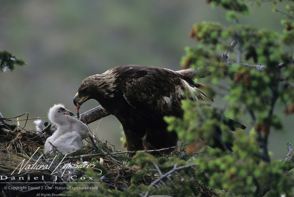 Golden Eagle adult feeding a chick. Montana