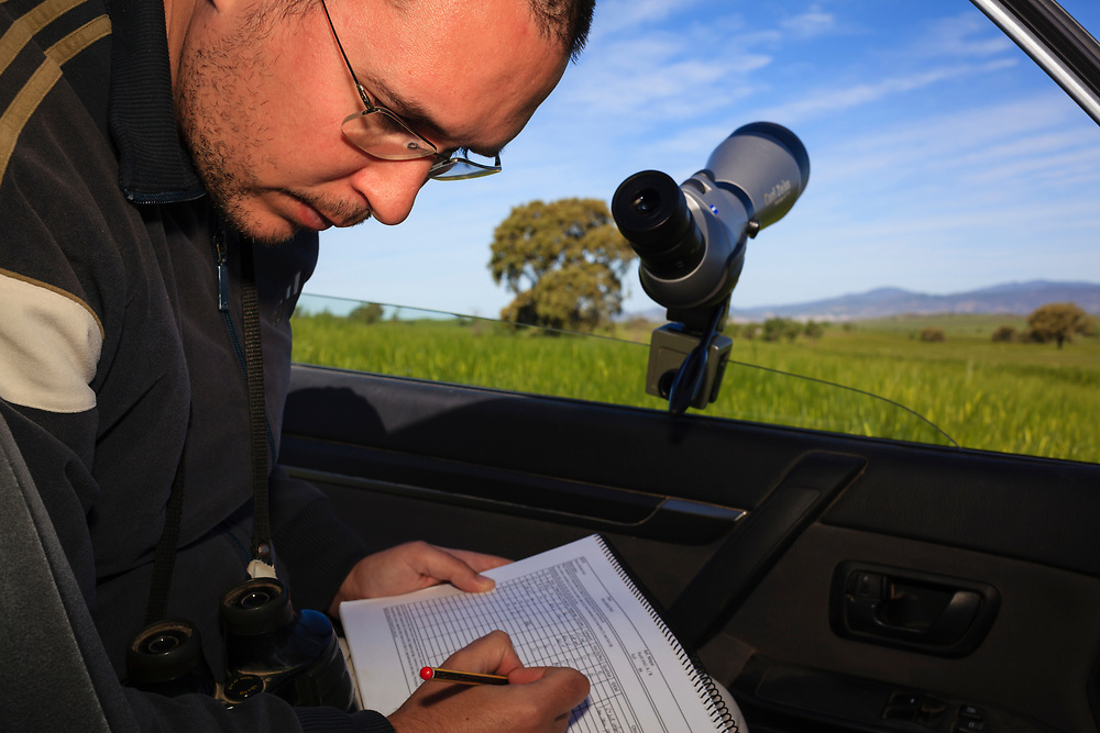 Researcher monitoring Little Bustard (Tetrax tetrax) males from car during mating season. Lleida province. Catalonia. Spain.