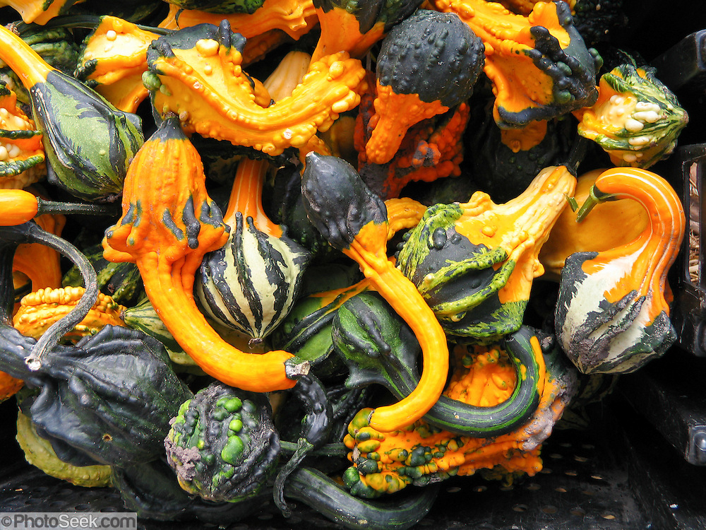 The fall squash harvest is displayed for sale at a farmer's market, Minnesota, USA.