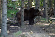 "Bear Lara at the Bärenwald (Bear Forest), a high security area for retired circus or dancing bears run by ""Vier Pfoten"". Having been kept in a small cage during most of her life, she developed hospitalism and always runs back and forth in a very small spot, although she could make use of a huge area all to herself. This should get better over time."