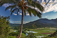 Hanalei Valley Lookout over taro fields in Kauai, Hawaii, USA