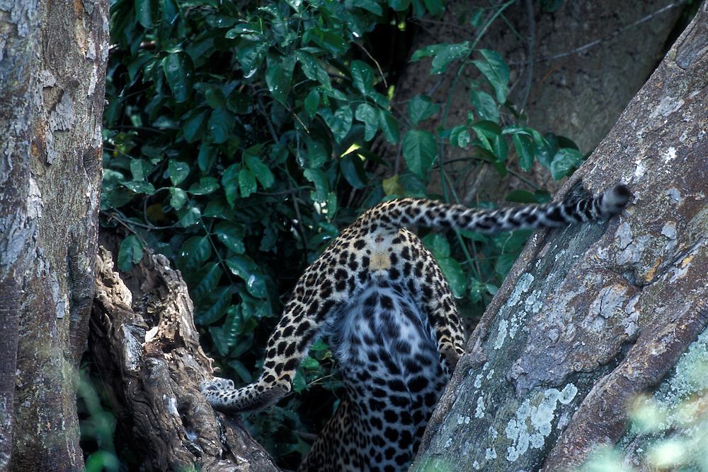 Africa, Kenya, Masai Mara Game Reserve, Adolescent Male Leopard (Panthera pardus) struggles to climb down tree