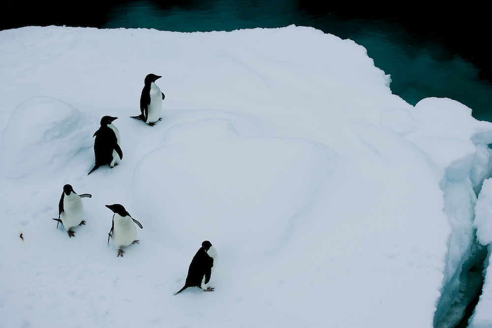 February 8th 2007. Southern Ocean..Adelie Penguins.